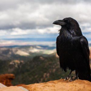 """Refranes populares – """"Cría cuervo y te sacarán los ojos"""""""